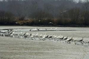 Rassemblement d'Ardéidés lors d'une vidange d'étang : hérons cendrés, grandes aigrettes