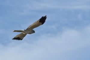 Busard Saint-Martin, mâle en vol