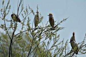 Hérons garde-boeufs & Bihoreau dans des saules