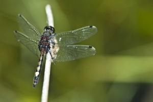 Leucorrhine à gros thorax (Leucorrhinia pectoralis) mâle