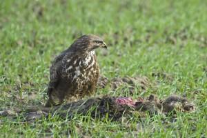 Buse variable se nourrissant d'un ragondin trouvé mort