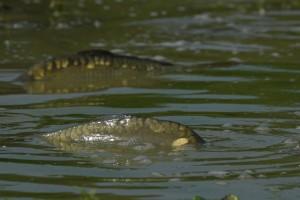 Carpes frayant au bord d'un étang