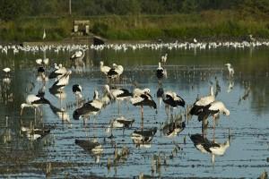 Rassemblement de cigognes blanches et de mouettes rieuses sur un étang