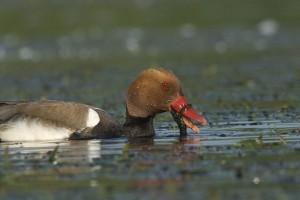Un mâle Nette rousse s'alimentant dans un herbier aquatique de surface
