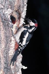 Pic épeiche : mâle nourrissant un jeune dans un bouleau