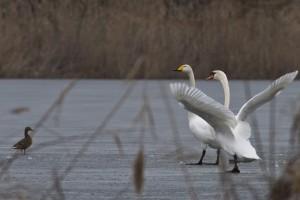 Cygne chanteur et Cygne tuberculé sur un étang gelé