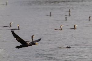 Grands cormorans, groupe en pêche
