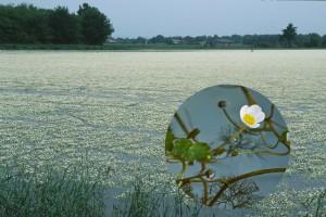 Un étang ntièrement recouvert par la Renoncule peltée et détail de la fleur