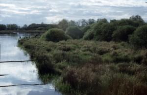 Une saulaie en queue d'étang