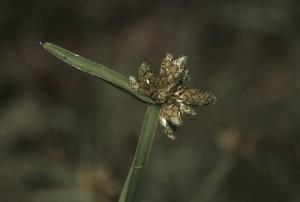 Scirpe mucroné