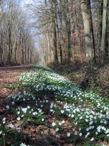 Chemin forestier et anémones des bois