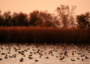 La migration des canards