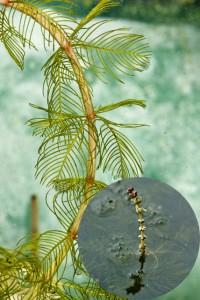 Myriophylle en épis : feuilles et détails de l'inflorescence